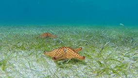 Starfish move across sea floor. Two Cushion sea stars move away from each other over a grassy bottomed sea. In order to show the movement the clip has been sped stock video footage