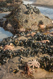 Starfish with mussels in rockpool Royalty Free Stock Photography