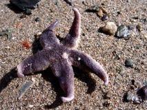 Starfish na areia fotografia de stock