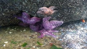 Starfish na rocha Fotografia de Stock Royalty Free