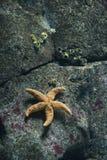 Starfish no aquário em Lisboa, Spain. imagem de stock