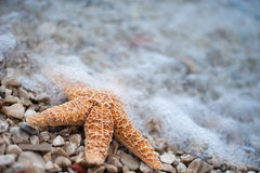 Starfish. Orange Starfish on the beach at Croatia Royalty Free Stock Photos