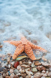 Starfish. Orange Starfish on the beach at Croatia Stock Photography