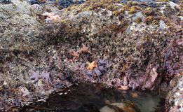 Starfish. Orange and purple starfish cling to coastal bedrock in a tidal pool Stock Images
