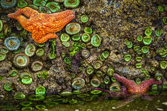Starfish, Oregon Coast Tidepools Stock Images