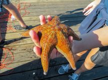 Starfish on the palm of the hand, on the shore of the Pacific Ocean. September 2015. Vancouver royalty free stock image