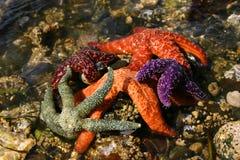 Starfish pile Stock Photos