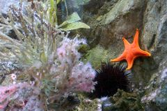 A Starfish with Pink Coral. This bright orange Starfish enjoys a beautiful undersea environment with lovely pink coral and other sea creatures royalty free stock photography