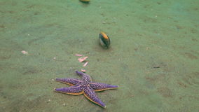 Starfish prey on a sandy bottom on the shells. Amazing underwater world and the inhabitants, fish, stars, octopuses and vegetation of the Sea of Japan stock video