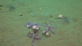 Starfish prey on a sandy bottom on the shells. Amazing underwater world and the inhabitants, fish, stars, octopuses and vegetation of the Sea of Japan stock footage
