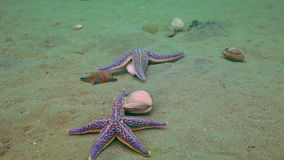 Starfish prey on a sandy bottom on the shells. Amazing underwater world and the inhabitants, fish, stars, octopuses and vegetation of the Sea of Japan stock video footage