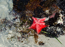 Starfish. Red Starfish ashore at Monterey Bay, California Stock Photo