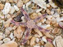 Starfish on Red sea cost Royalty Free Stock Photography