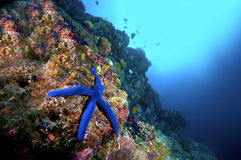 Starfish and reef Royalty Free Stock Photography