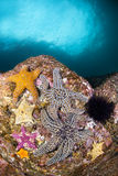 Starfish on Reef Royalty Free Stock Photography