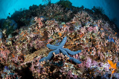 Starfish on Reef Stock Images