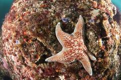 Starfish on Reef stock photo