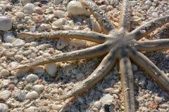 Starfish rests on shells on Sanibel Island Stock Image