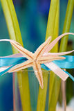 Starfish on ribbon Royalty Free Stock Photos