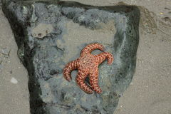 Starfish on a Rock Royalty Free Stock Photo