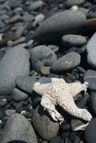 Starfish with rocky background Royalty Free Stock Photo