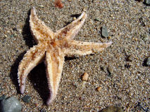 Starfish on Sand. Starfish on the sand upside down, exposed Royalty Free Stock Photo