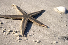 Starfish on the sand. Lone Starfish on the sand with the horizon in the background Stock Images