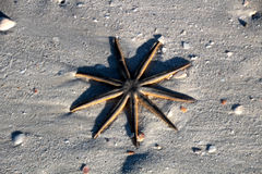 A Starfish in the Sand. Starfish are marine invertebrates. They typically have a central disc and five arms, though some species have more than this. The aboral Stock Image