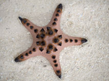 Starfish in the sand. Royalty Free Stock Photo