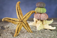 Starfish on sand with sea urchins Royalty Free Stock Photo