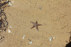 Starfish in sand Stock Images