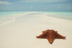Starfish on a sandbar royalty free stock photo