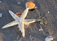 Starfish on the sandy sea beach with other shells 2 Stock Photography