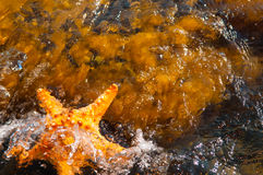 Starfish in the sea Stock Photography