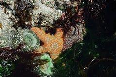 Starfish and sea anemone stock photography