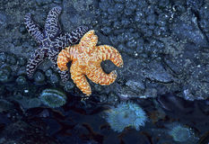 Starfish and sea anemone. Ruby Beach tidepool wtih starfish and sea anemones in Olympic National Park Stock Photos