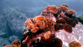 Starfish and sea anemone among rocks on seabed. stock video footage