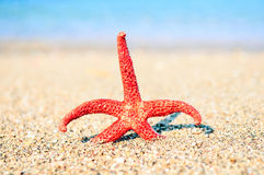 Starfish on sea coast. Red starfish on the beach Stock Image