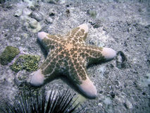 Starfish on Sea Bottom, Seychelles. Starfish or sea star sitting at the bottom of the ocean under water stock image