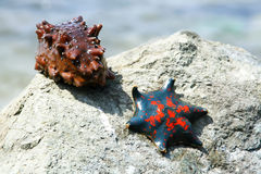 Starfish and a sea cucumber on the shore. Sea stone and sea animals. Side of the sea. The ocean and nature Royalty Free Stock Photo