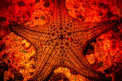Starfish. Sea Diving Beauty Red Black Five Pointed Star Shell Stock Image