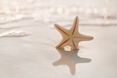 Starfish on sea ocean beach in Florida, soft gentle sunrise ligh Stock Photos