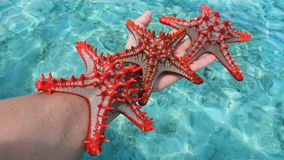 Starfish or sea stars royalty free stock photography