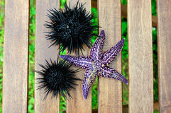 Starfish and sea urchin, echinus Royalty Free Stock Images
