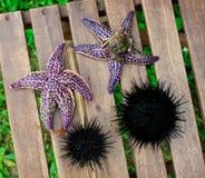 Starfish and sea urchin, echinus Stock Images