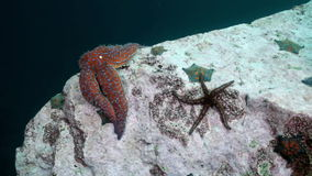 Starfish and sea urchins among rocks on seabed. Starfish and sea urchins among the rocks on the seabed. Amazing underwater world and the inhabitants, fish stock video