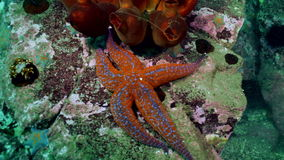Starfish and sea urchins among rocks on seabed. Starfish and sea urchins among the rocks on the seabed. Amazing underwater world and the inhabitants, fish stock footage