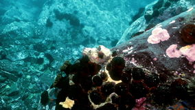 Starfish and sea urchins among rocks on seabed. Starfish and sea urchins among the rocks on the seabed. Amazing underwater world and the inhabitants, fish stock video footage