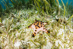Starfish and Seagrass Meadow in Indonesia Stock Images