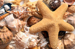 Starfish. And seashells together roasting in the sun royalty free stock photography